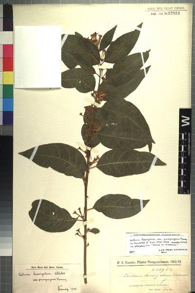 Cestrum laevigatum var. paraguayense Francey