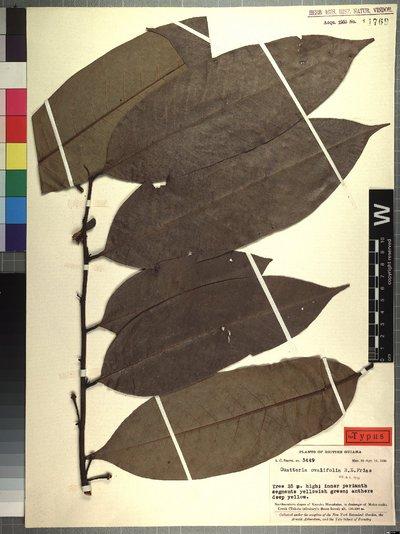 Guatteria ovalifolia R. E. Fr.