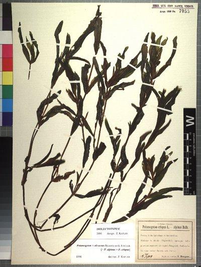 Potamogeton alpinus Balb. x Potamogeton crispus L.