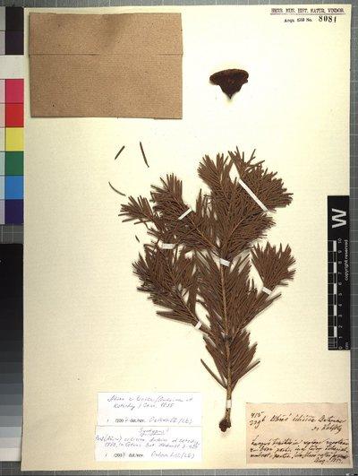 Abies cilicica (Antoine & Kotschy) Carrière