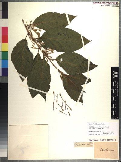 Cestrum latifolium Lam.
