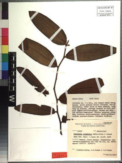 Guatteria notabilis Mello-Silva & Pirani