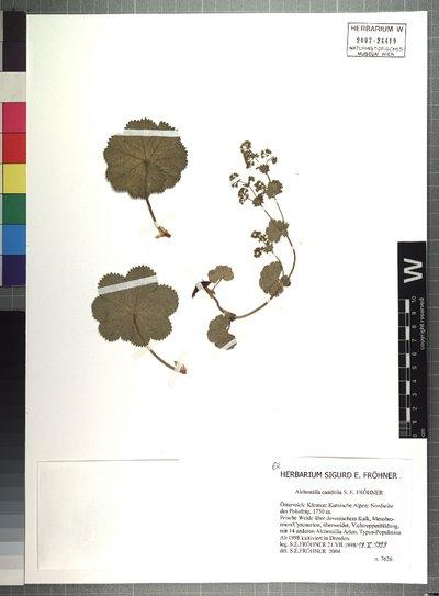 Alchemilla canifolia S. E. Fröhner