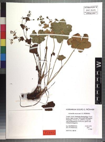 Alchemilla eurystoma S. E. Fröhner