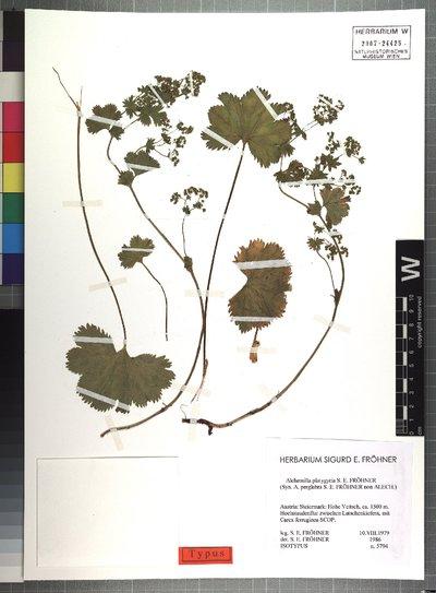 Alchemilla platygyria S. E. Fröhner