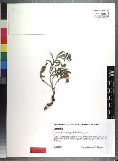 Cyanus eflanensis Kaya & Bancheva