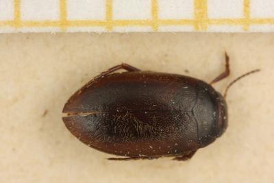 Hydroporus nigellus Mannerheim, 1853