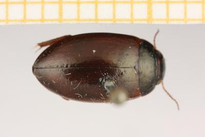 Agabus concener lapponicus (Thomson, 1867)