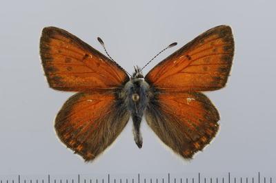 ?Palaeochrysophanus hippothoe