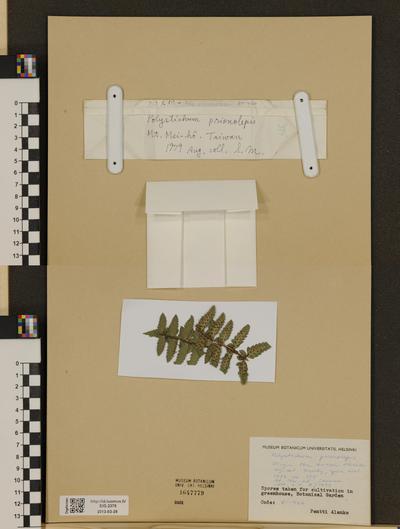 Polystichum prionolepis