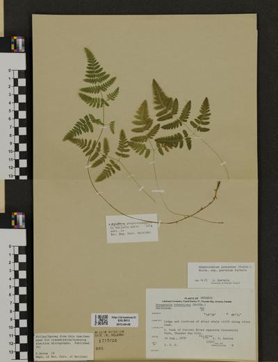 Gymnocarpium continentale