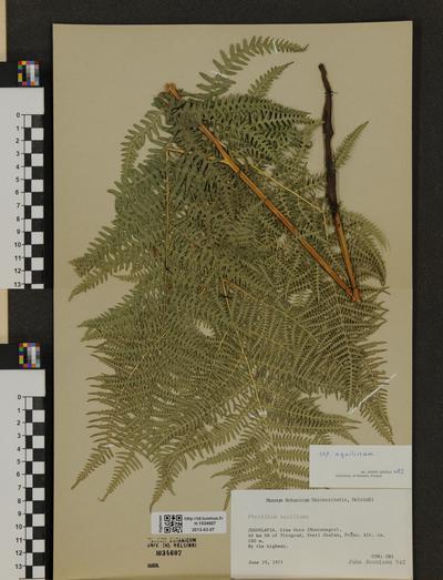 Pteridium aquilinum ssp. aquilinum