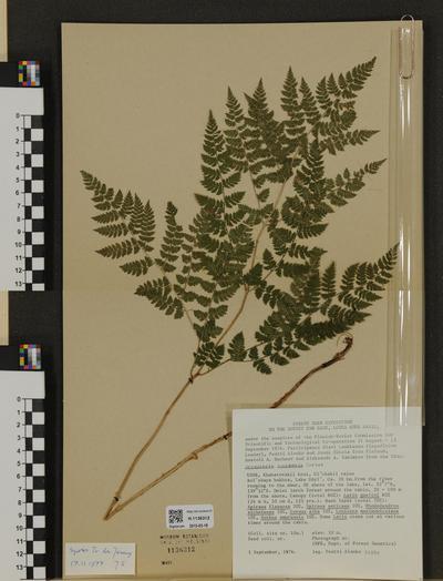 Dryopteris amurensis
