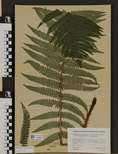 Dryopteris affinis ssp. affinis