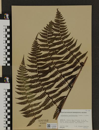 Dryopteris aquilinoides