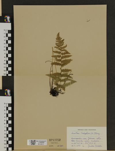 Thelypteris palustris ssp. palustris