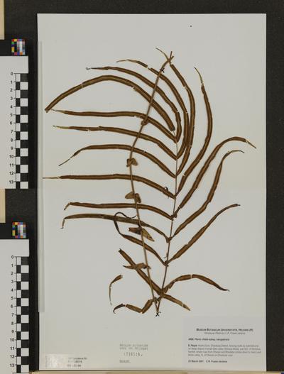 Pteris vittata ssp. bengalensis