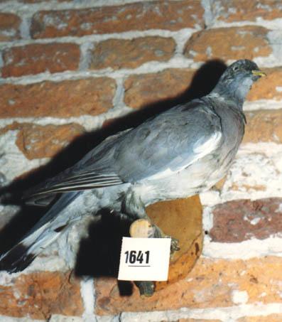 Opgezette duif op een stokje welke is vastgemaakt aan een plankje.