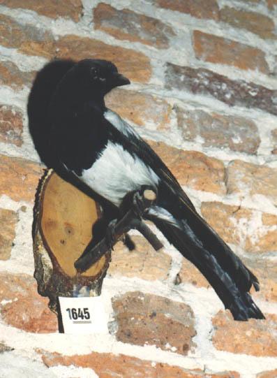 Opgezette ekster op een stokje welk is bevestigd aan een plankje.