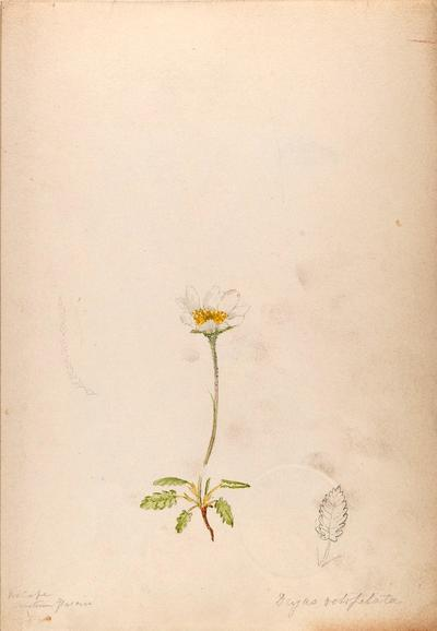 [Water-color sketches of plants of North America and Europe]