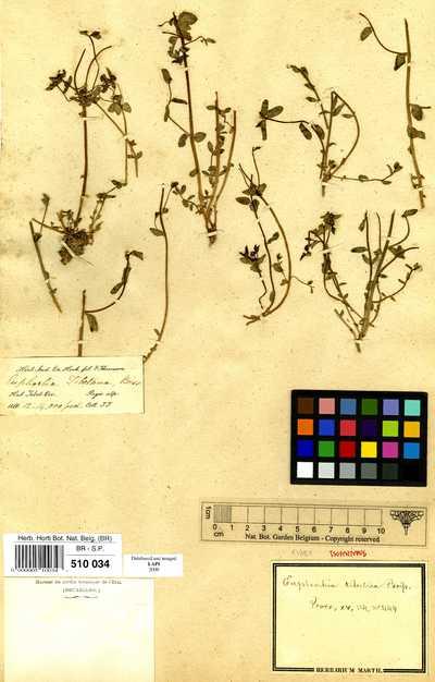 Euphorbia tibetica Boiss.