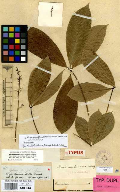 Hevea pauciflora (Spruce ex Benth.) Müll.Arg. var. pauciflora