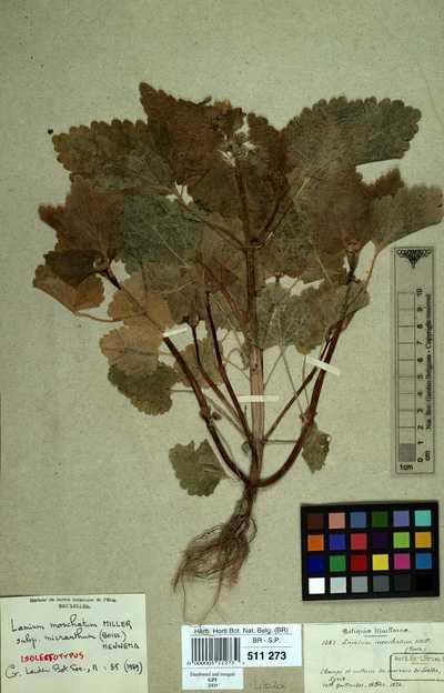Lamium moschatum Mill. subsp. micranthum (Boiss.) Mennema