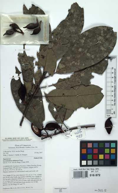 Lecomtedoxa plumosa Burgt