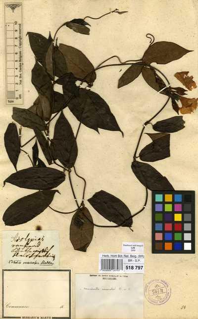 Mandevilla scabra (Hoffmanns. ex Roem. & Schult.) K.Schum.