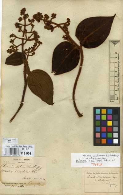 Leandra dichotoma (Pav. ex D.Don) Cogn. var. villosissima Cogn.