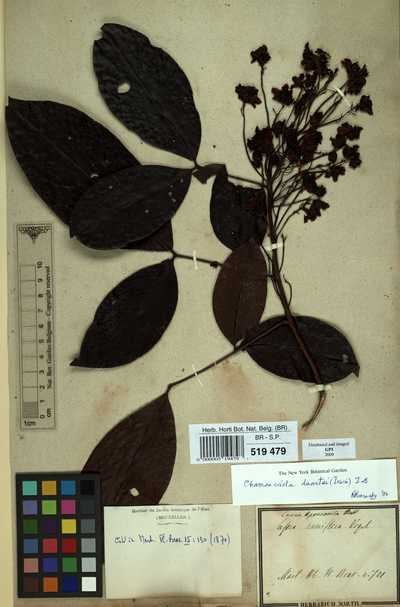 Chamaecrista duartei (H.S.Irwin) H.S.Irwin & Barneby