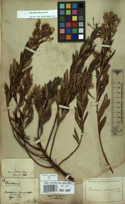 Baccharis oleifolia Mart. ex Colla