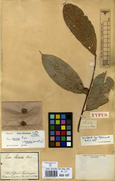 Ficus chincha Roxb.