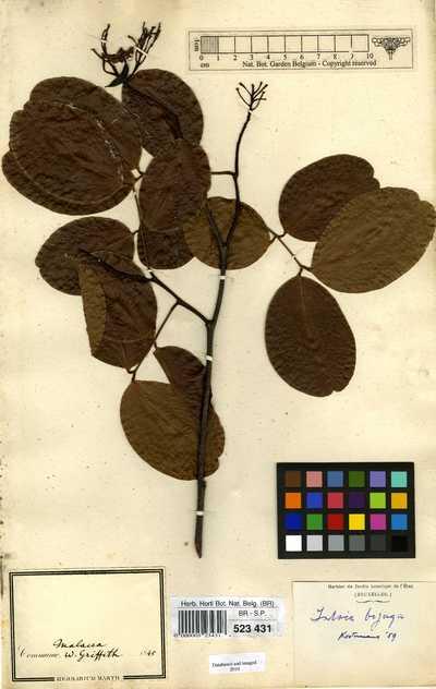 Intsia bijuga (Colebr.) Kuntze