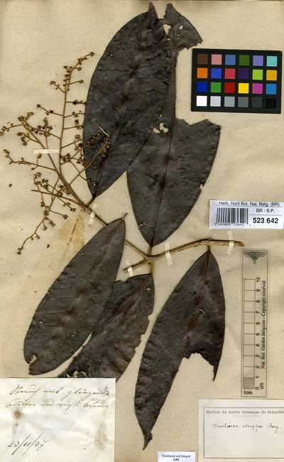 Marlierea strigipes (Mart.) O.Berg