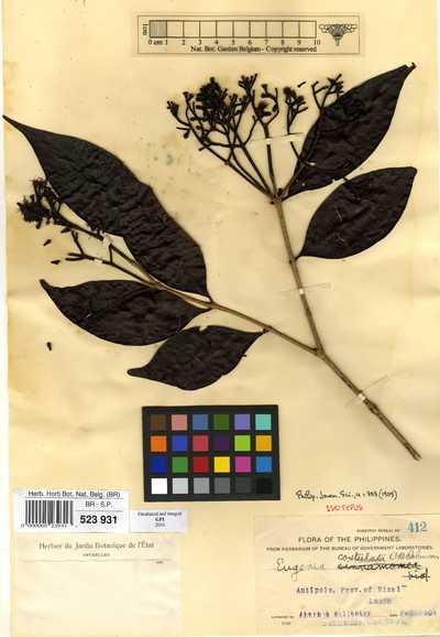 Eugenia costulata C.B.Rob.