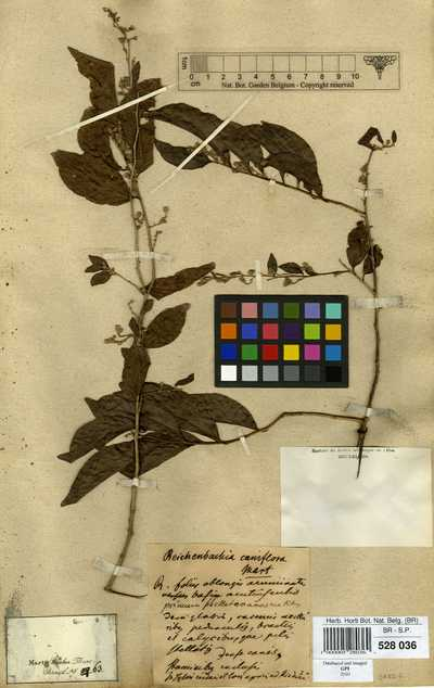Leucaster caniflorus (Mart.) Choisy