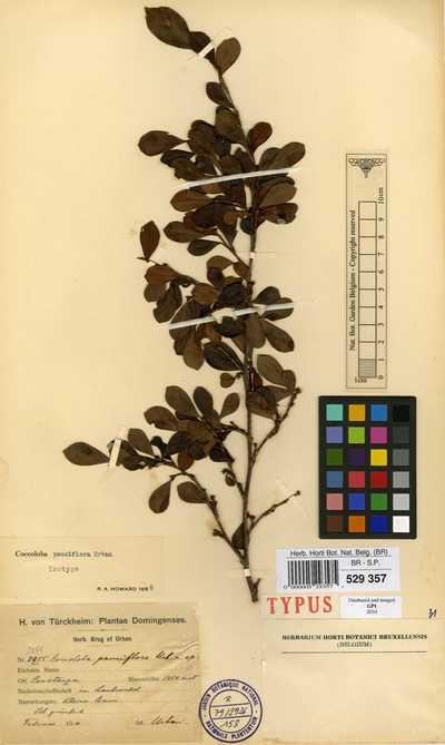 Coccoloba pauciflora Urb.