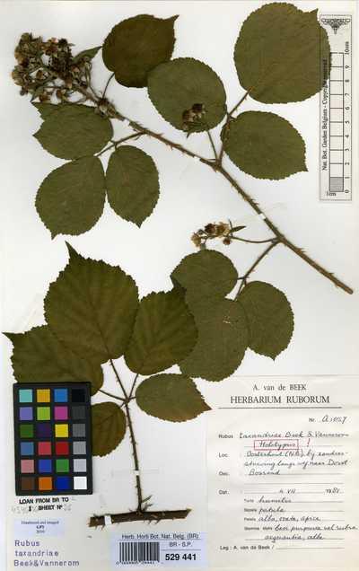 Rubus taxandriae Vannerom ex A.Beek