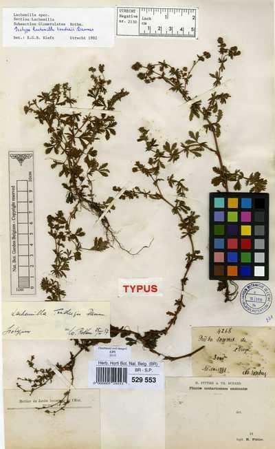 Alchemilla sibbaldiaefolia Kunth
