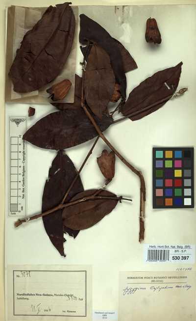 Syzygium octipodium Merr. & L.M.Perry