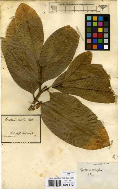 Gardenia resinifera Roth