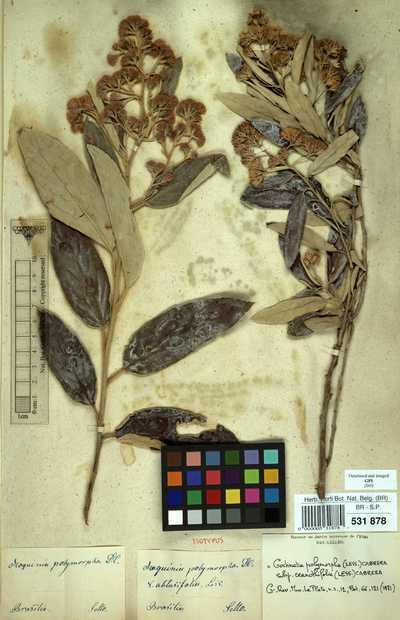 Gochnatia polymorpha (Less.) Cabrera subsp. ceanothifolia (Less.) Cabrera
