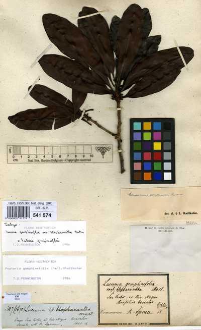 Pouteria gomphiifolia (Mart. ex Miq.) Radlk.