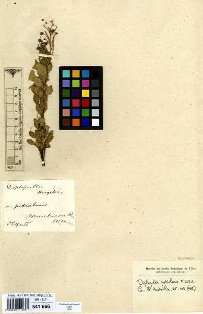 Diplopeltis petiolaris F.Muell. ex Benth.