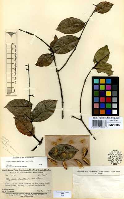 Trigonia microcarpa Sagot ex Warm.