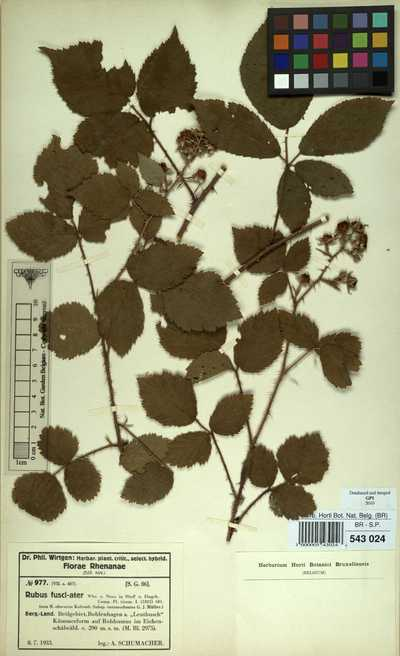 Rubus fuscoater Weihe ex Bluff & Fingerh.