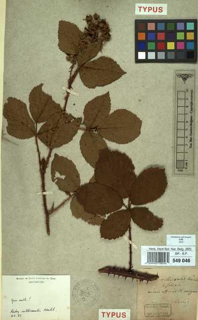 Rubus villicaulis Köhler ex Weihe & Nees