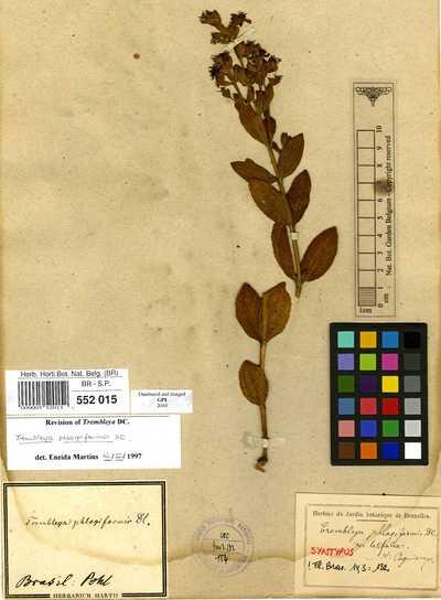Trembleya phlogiformis DC.