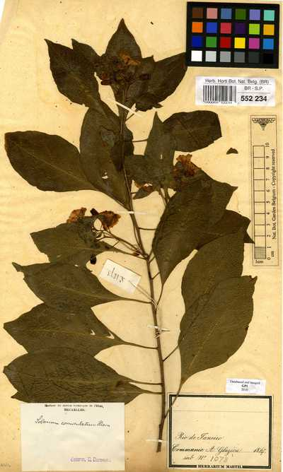 Lycianthes rantonnei (Carrière) Bitter